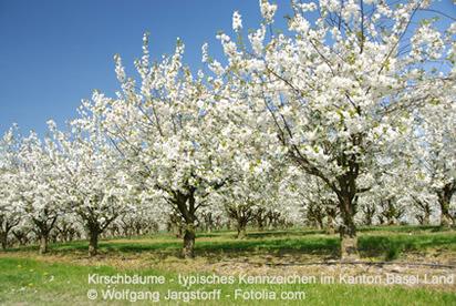 Blühende Kirschbäume sind ein typisches Kennzeichen im Kanton Basel Land