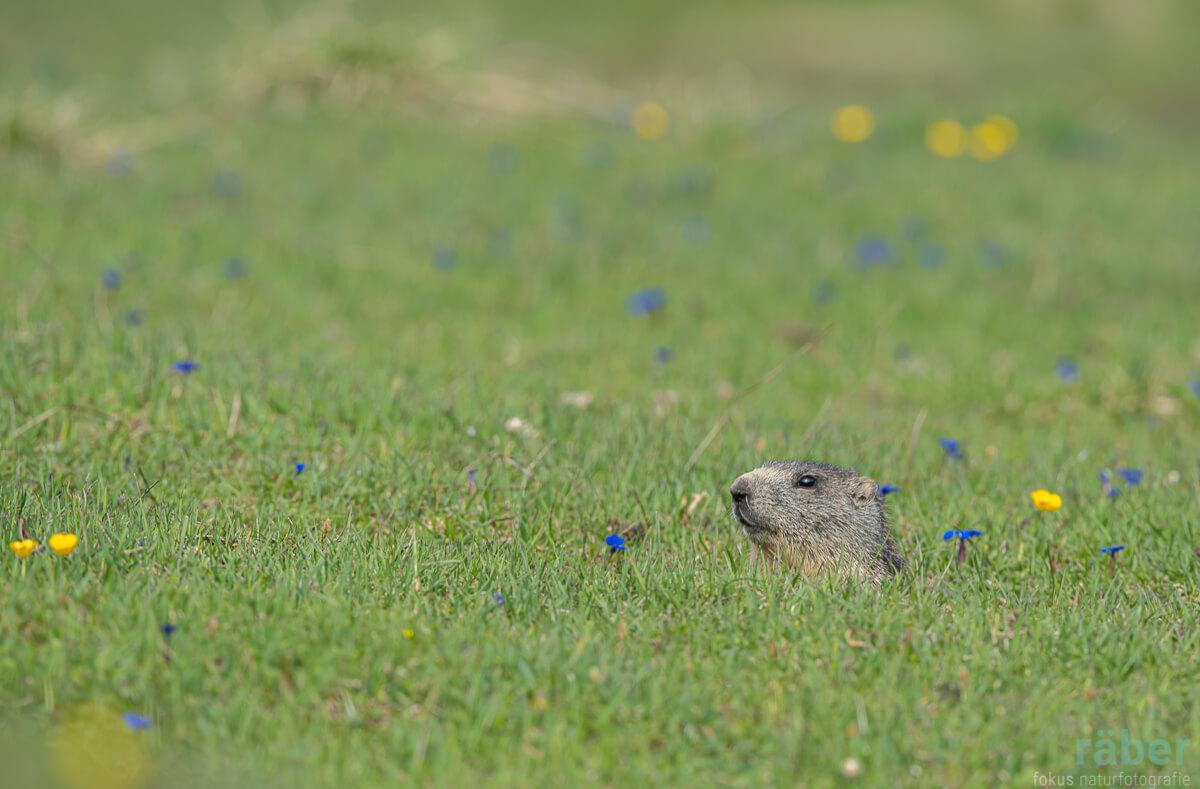 Bekannte Tiere aus dem Kanton Graubünden: Murmeltiere
